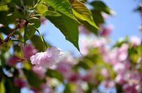 羞答答的樱花