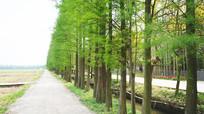 一排水杉树