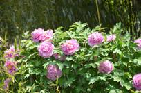 正在喷灌的牡丹花