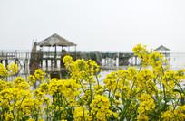 湖边黄色油菜花