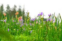 美丽的鸢尾花风景图片