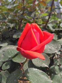 盛开的红色月季