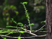 水杉树枝上的翠鸟