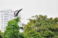 树梢上的灰鹭鸟