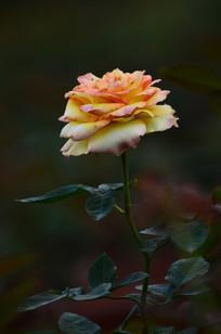 一枝美丽的月季花