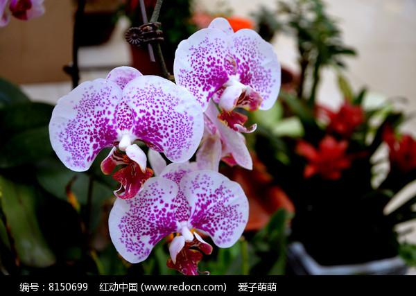 白色花瓣红色斑点的蝴蝶兰图片