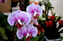 白色花瓣红色斑点的蝴蝶兰
