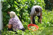 采摘蔬菜的老人