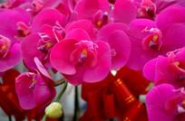 蝴蝶兰花簇