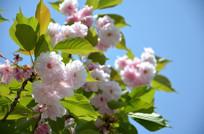 蓝天下盛开的樱花