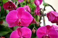 绽放的紫色蝴蝶兰