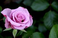 紫粉色玫瑰花