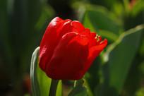 半开的红郁金香花苞