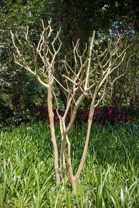光秃秃的紫薇树