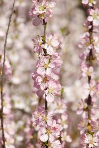 浅粉色的梅花背景