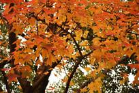 秋季满树红叶细节图