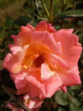 橘色月季花