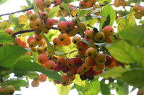 枝头上的海棠果