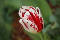 白红相间的郁金香花