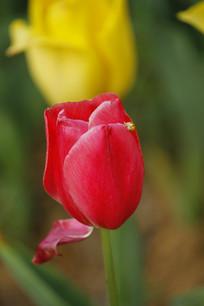 半开的玫红色郁金香花