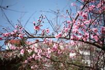 春天的梅花