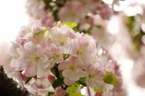 粉色海常花