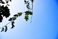 蓝色天空中的绿叶素材图