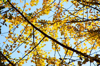 蓝天下的黄色银杏叶