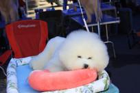 白色休息中的比雄犬