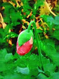 电脑油画《罂粟花》