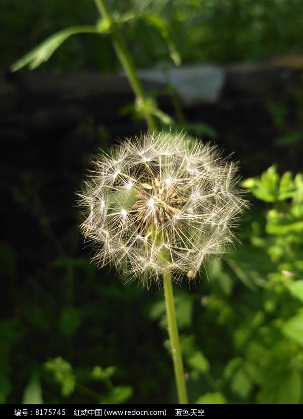 蒲公英的种子