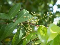 观赏植物天竺桂
