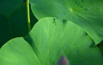 绿色的荷叶