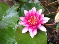 美丽的莲花
