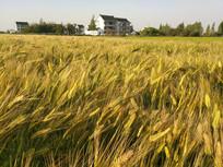 农家大麦地