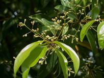 药用植物天竺桂