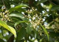 园林绿化植物天竺桂