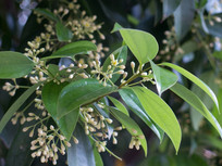 樟科樟属植物天竺桂