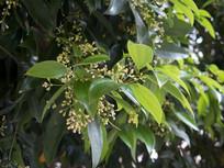 樟科植物天竺桂
