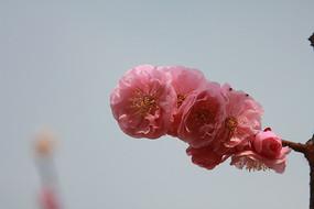 红桃花花蕊