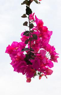 鲜艳的紫色叶子花图片,高清大图_花卉花草素材_编号图片