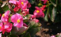 粉色玻璃翠花