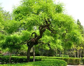 公园里的大槐树