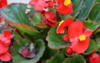 盛开的红色玻璃翠