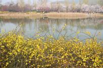 水边盛开的迎春花
