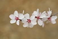 白瓣红心的樱花花枝