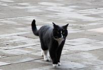 黑色的家猫