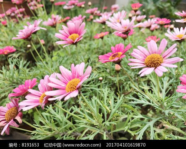 红色花丛图片