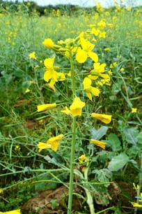 黄色的一簇油菜花