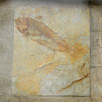 狼鳍鱼化石样本